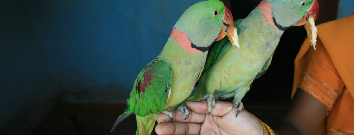 alexandriane parrot, indian ringneck, ringneck parrot, parrot, pet parrot, avian and exotic animal clinic, veterinarian, animal clinic, arizona, phoenix, exotic vet,
