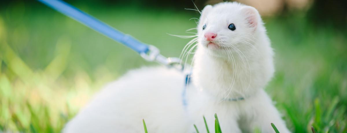 ferret, pet ferret, domestic ferret, white ferret, exotic animals, exotic veterinarian, exotic vet, phoenix, arizona, avian and exotic animal clinic, exotic animal hospital, exotic animal clinic
